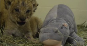 adorable baby lion cubs