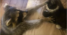 cute raccoon loves cat bestie lolcats