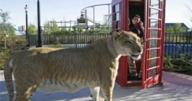 hercules the largest liger on earth