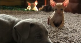 adorable pit bull and baby kitty sphinx unlikely friendship