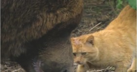 adorable unlikely friendship grizzly and tabby cat
