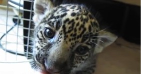 cute baby jaguar chews on finger hungry kitten