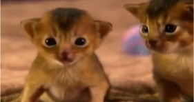 Abyssinian Kitten Tiny Dancer Is Cute Adorable