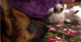 adorable kittens and german shepard unlikely friendship