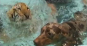 cute tiger & doggy go for a swim adorable