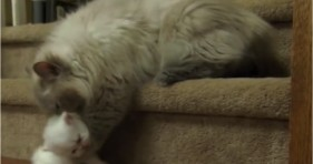 mom cat rescues curious kitty from dog