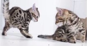 adorable epic kitten battle cute kitties