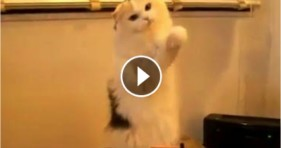 cool fluffy cat plays theremin cute kitten
