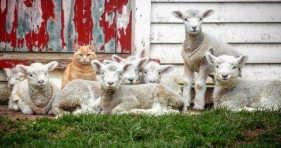 adorable orange cat loves flock of lamb