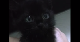 cute black rescue kitten meows like squeak toy