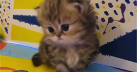 adorable baby persian kitten