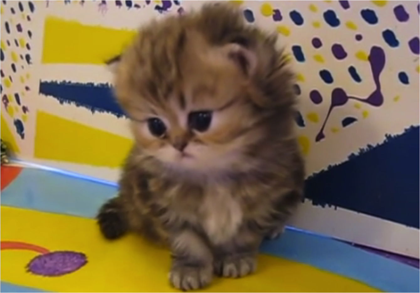 50 Cute Baby Persian Kittens