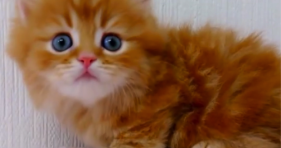 adorable fluffy orange kitten with baby blue eyes