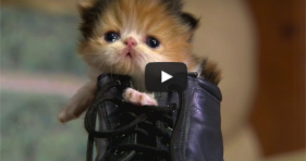 adorable kitten in boot is puss in boots