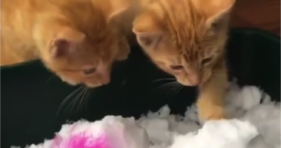 adorable orange baby kitten first snow