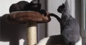 cute grey cats battle for king of the jungle