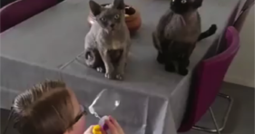 two cute grey cats love bubbles