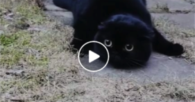 cute black kitty cat dubs as baby seal