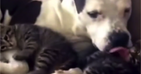 pit bull loves her foster kittens
