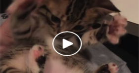 adorable baby kitten red dot practice catches tail