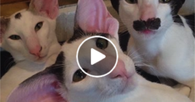 adorable hobbikats are cat bros and models