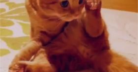 adorable orange kitty is a yoga cat