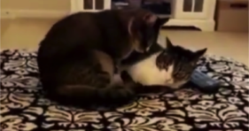 cute kittens showing some sisterly love cat cuddles