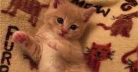 cute yellow baby kitten loves strawberry jelly bean toes