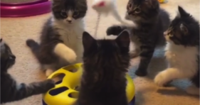 five foster kittens play with new cat toy