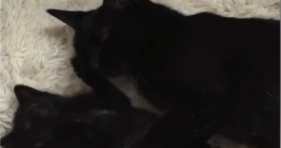 tiny black kitten shows mom love on mother's day