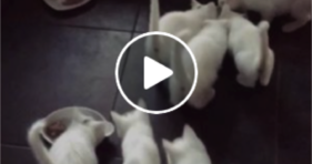 adorable baby white kittens feeding frenzy