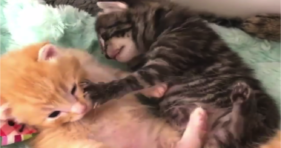 adorable kitten fight