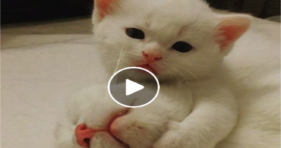 adorable white kitties so sweet gives toothache