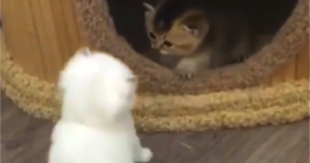 two fluffy adorably cute wobbly kittens play