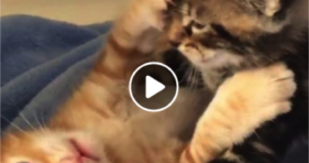 cute baby furball kitten brothers cuddle and hugs