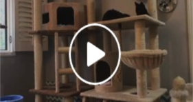 nine rescue kittens love cat tree