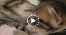 adorable baby foster kittens love snugglefest