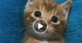 adorable blue eyed baby ginger foster kitty cat