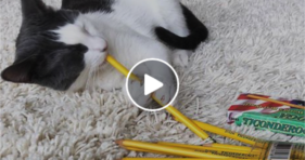 cute cat loves pencils adorable kitty
