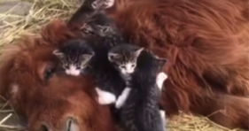 A Mini Horse And His Kittens