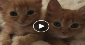 You Knead To Watch These Orange Kittens! cats vs cancer