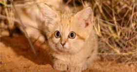 Is The Sand Kitten The Cutest Of All Time? cats vs cancer