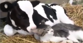 Moo, Plus Meow, Equals Awwww cats vs cancer
