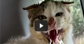 Incredible Transformation of Hissing Stray Cat! cats vs cancer