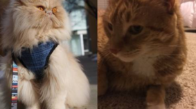 March Meowdness Elite Eight: Floyd vs Mini Cooper