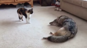 Cat And Coyote Are Best Friends?