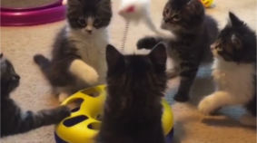These Five Foster Kittens Love New Toys