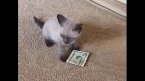 Kitten Loves 20 Dollar Bill