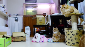 RC Helicopter Mesmerizes Cats
