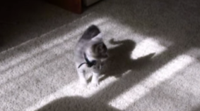 Shadow Boxing Kitten Goes The Distance